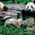 3722-panda -  Pastel Chalk 1 by David Lange