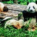 3722-panda -  Watercolor 1 by David Lange