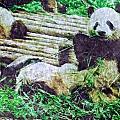 3722-panda -  Watercolor 2 Sl by David Lange
