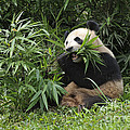Giant Panda by John Shaw