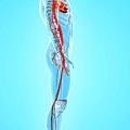 Human Arteries by Pixologicstudio/science Photo Library