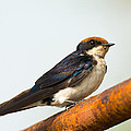 A Wire-tailed Swallow Perching by Dave Montreuil