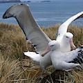 Albatros Royal Diomedea Epomophora by Gerard Lacz