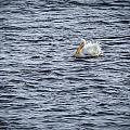 America White Pelican by Jack R Perry