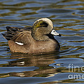 American Widgeon by John Shaw