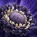 Anemone by Mark Johnson