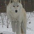 Arctic Wolf by Ken Keener