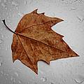Autumn Leaf by Paulo Goncalves