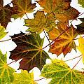 Autumn Maple Leaves by Frank Gaertner