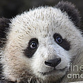 Baby Giant Panda by Mark Newman