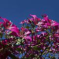 Bauhinia Purpurea - Hawaiian Orchid Tree by Sharon Mau