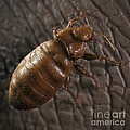 Bedbug Cimex Lectularius by Science Picture Co