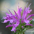 Bee Balm From The Panorama Mix by J McCombie