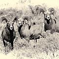Big Horn Sheep by Wendy Elliott