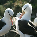 Black Browed Albatross Pair by Amanda Stadther