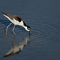 Black Necked Stilt by Betty Depee