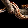 Blood Python Python Brongersmai by David Kenny