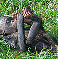 Bonobo Baby by Millard H. Sharp