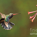 Broad Billed Hummingbird by Scott Linstead