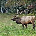 Bull Elk by Mel Hensley