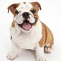 Bulldog Puppy by Mark Taylor