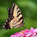 Butterfly by DVP Artography