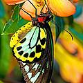Cairns Birdwing Butterfly by Millard H. Sharp