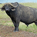 Cape Buffalo by Tony Murtagh