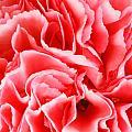 Carnation Flower by Peter Lakomy