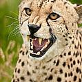 Cheetah Acinonyx Jubatus Big Cat  by Matthew Gibson