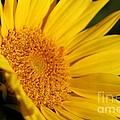 Chipmunk's Peredovik Sunflower by J McCombie