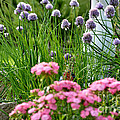 Chives In Bloom by Thomas R Fletcher