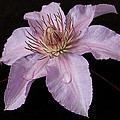 Clematis 'filigree' by Shirley Mitchell