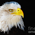 Closeup Portrait Of An American Bald Eagle by Nick  Biemans