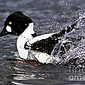 Common Goldeneye Splash by Sue Harper