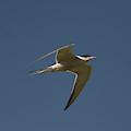 Common Tern, Sterna Hirundo, On Eastern by Jose Azel