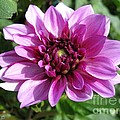 Dahlia Named Blue Bell by J McCombie