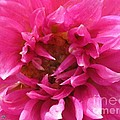 Dahlia Named Pretty In Pink by J McCombie
