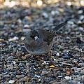 Dark Eyed Junco by Lori Tordsen