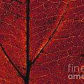 Dogwood Leaf Backlit by Jim Corwin