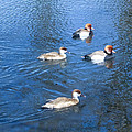 4 Duck Pond by Mechala Matthews