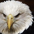 Eagle   by Paulette Thomas