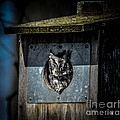 Eastern Screech Owl  by Ronald Grogan