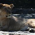 Female Lion by John Telfer
