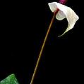 Flamingo Flower  by Antoni Halim