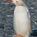 Gentoo Penguin by John Shaw