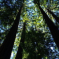 Giant Redwoods by Aidan Moran