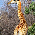 Giraffe by FL collection