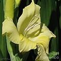 Gladiolus Named Nova Lux by J McCombie