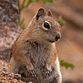 Golden Mantled Ground Squirrel by Fred Stearns